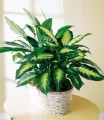 Spathiphyllum and dieffenbachia Plants